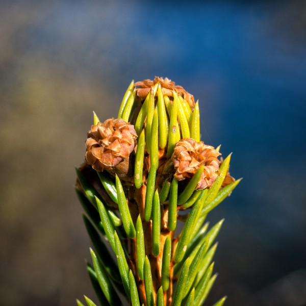 Picea abies shoot with buds, Sogndal, Norway