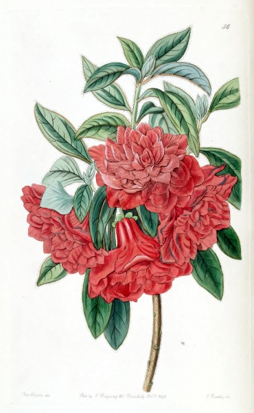 Rhododendron hort. cv. double red by Sarah Ann Drake. Edwards's Botanical Register vol. 28- t. 56 (1842)