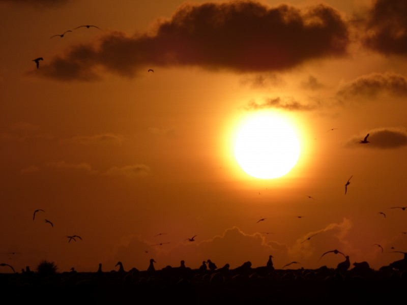 Starr-150331-0665-Cynodon dactylon-sunset and Laysan Albatrosses-Charlie Barracks Sand Island-Midway Atoll (25244952226)