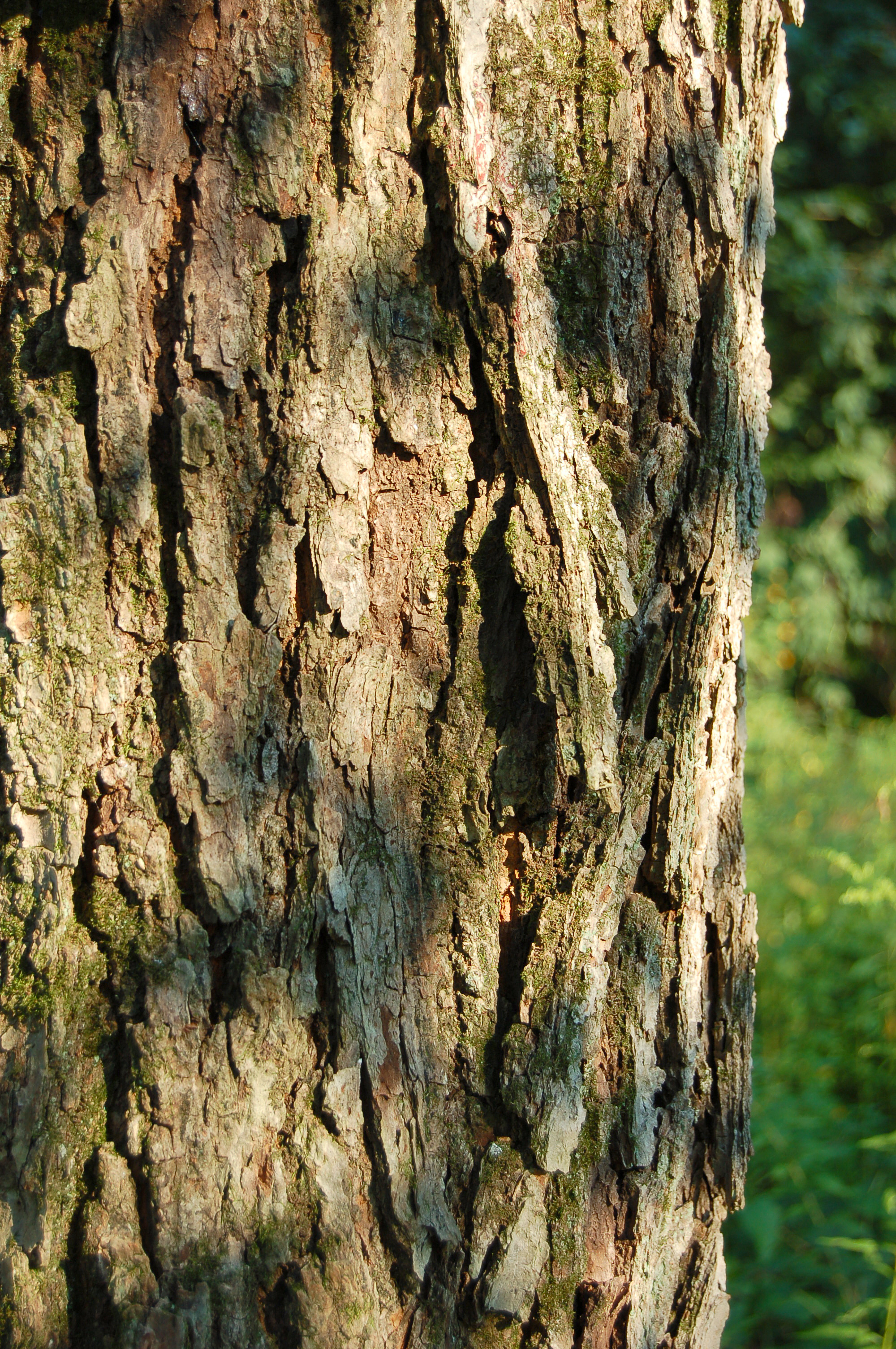 Red Maple Acer rubrum Bark 2000px
