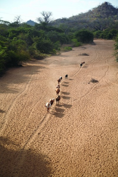 ILRI, Stevie Mann - Cattle herd walks home along dry river bed in Tete Province, Mozambique