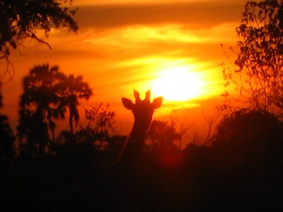 Girafe sunset