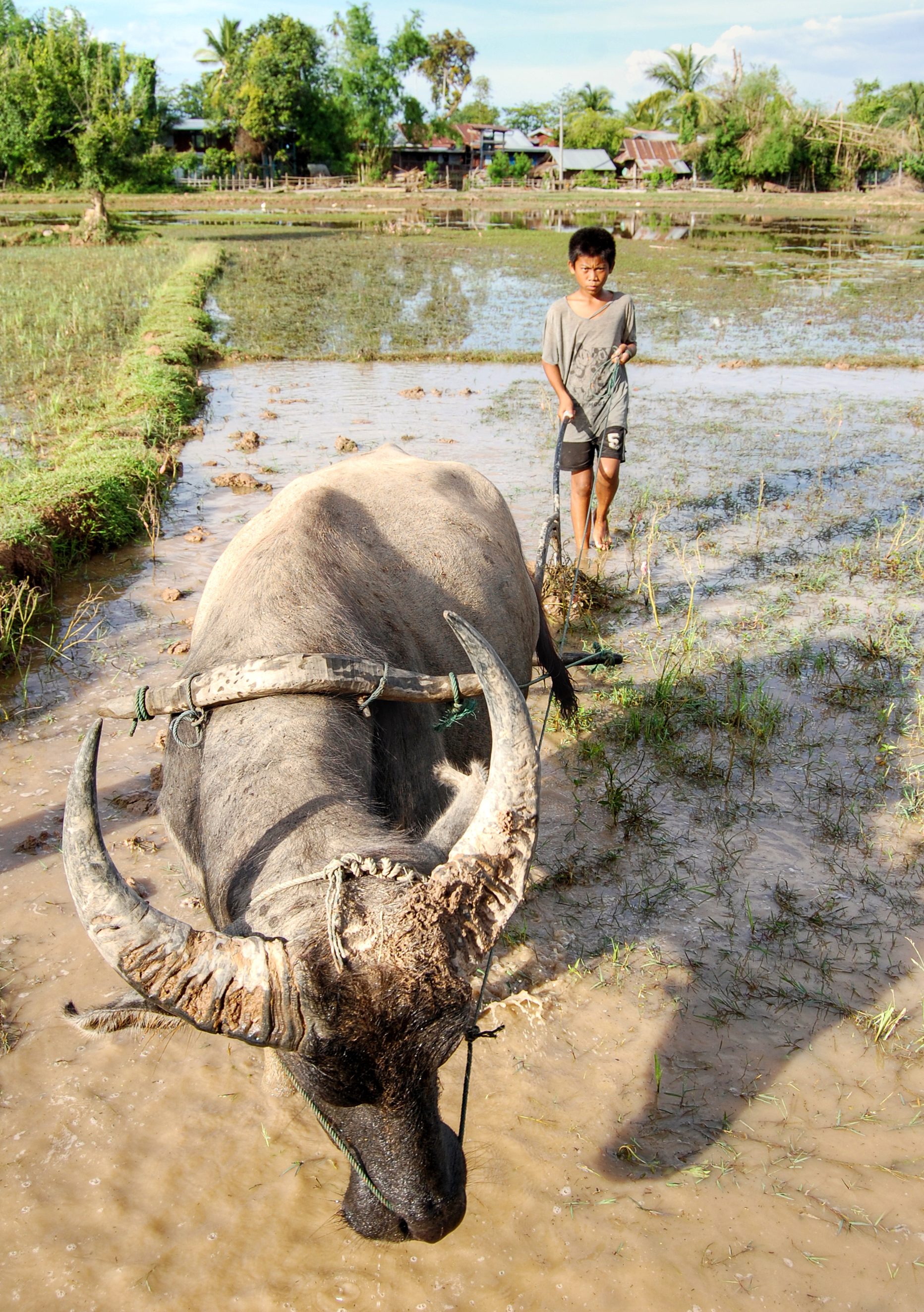 Child and ox ploughing, Laos (2)