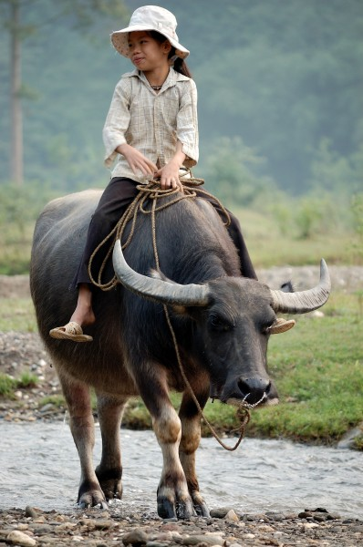 Walking the water buffalo