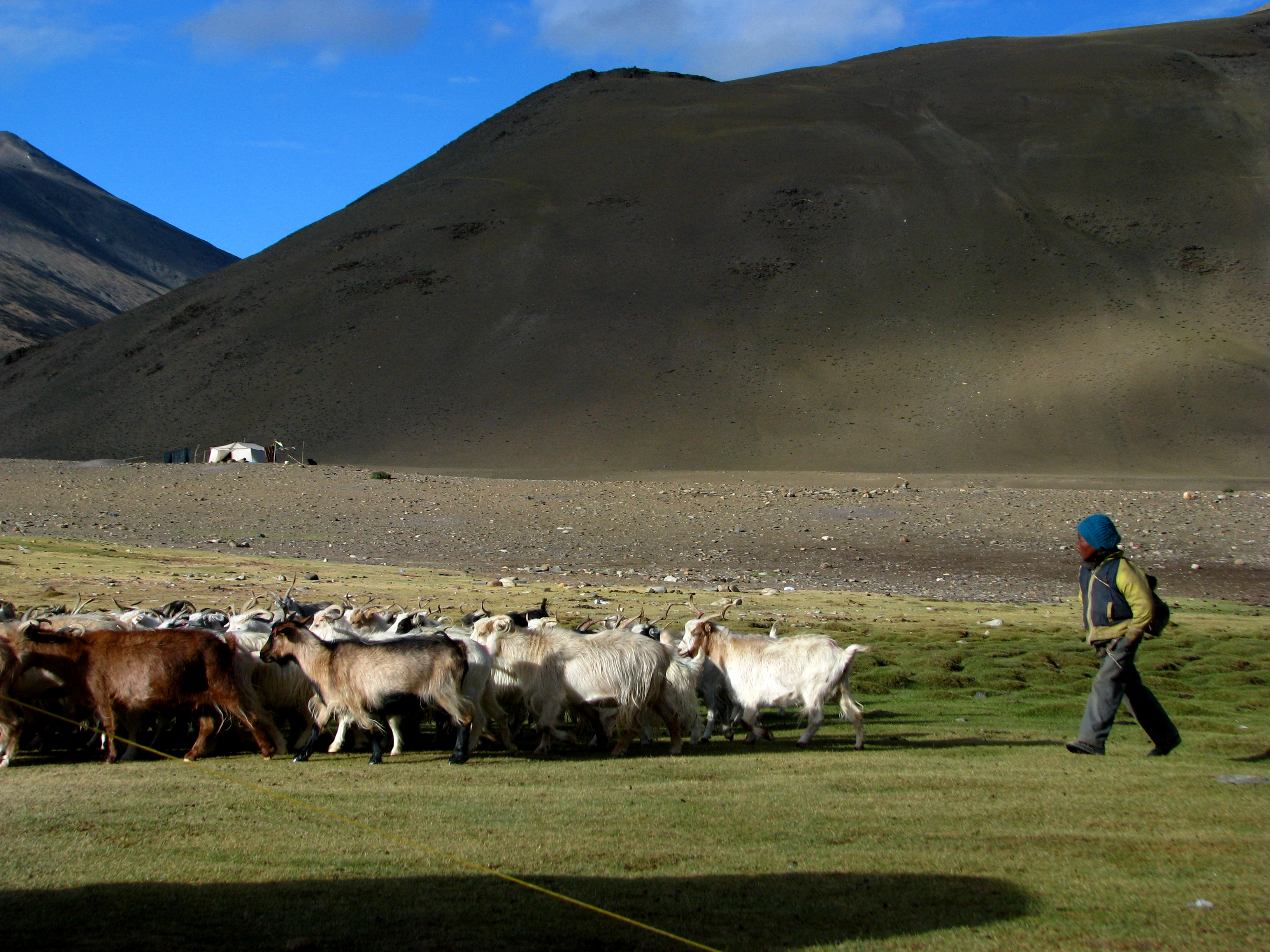 India - Ladakh - Trekking - 077 - sending out the herds in the monring (3896556490)