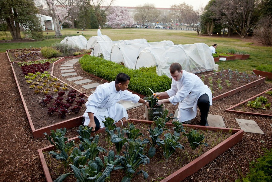 Chefs Kevin Saiyasak and Jeremy Kapper harvest winter greens from the Kitchen Garden, 2012