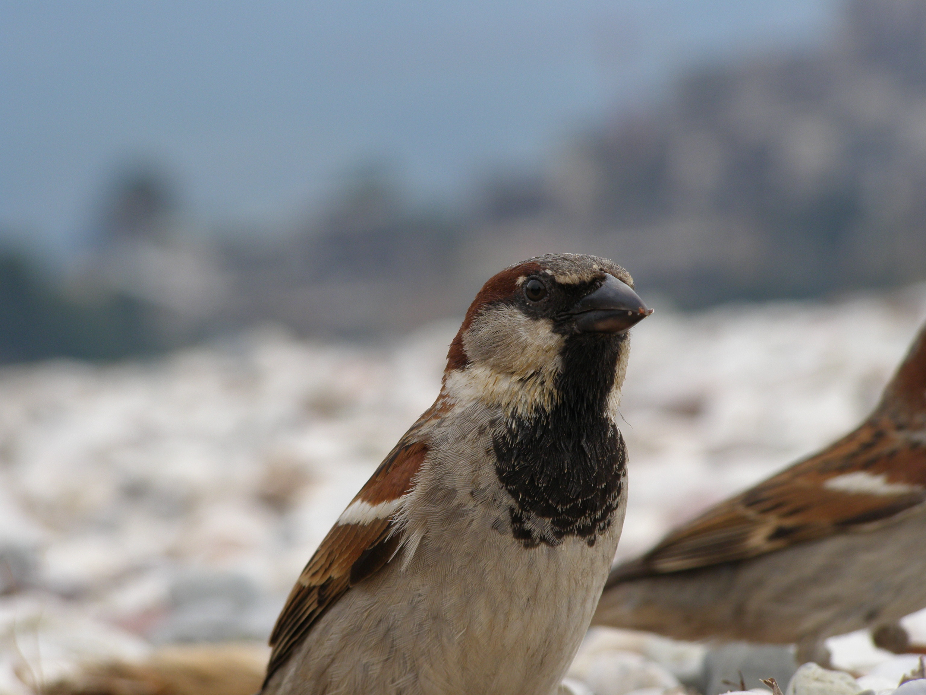 A bird in Budva town, Montenegro, Europe (2009), picture 42.