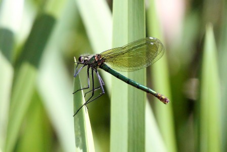 Banded Demoiselle - Harold Country Park 2010 (4632092167)